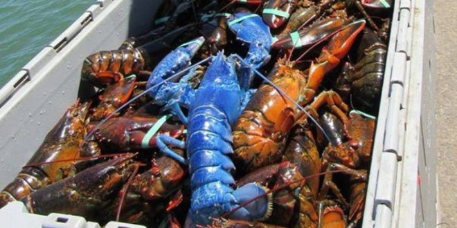 Man Catches Rare Bright Blue Lobster off Cape Cod Coast