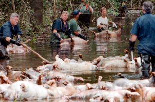 3.4 Million Chickens, 5,500 Hogs Killed in Florence's Flooding