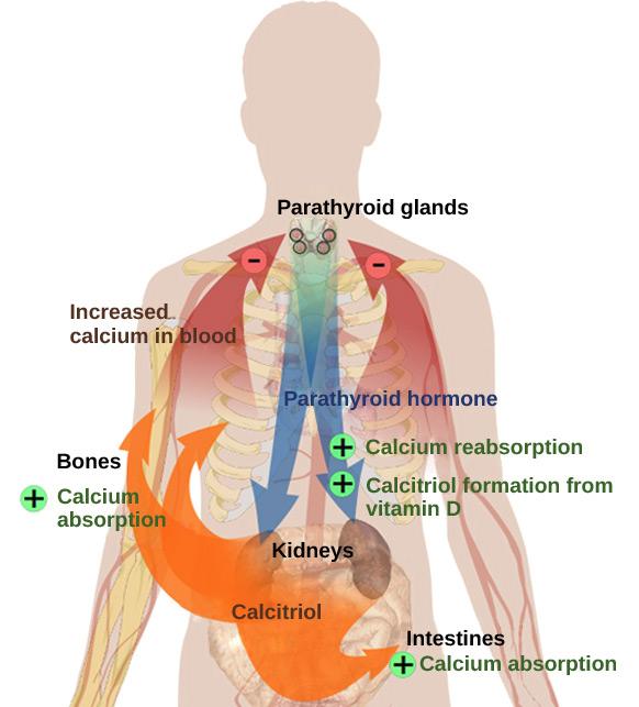 növeli a kalcium mennyiségét a testben)