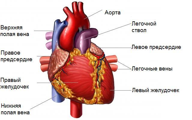 Сердце клапаны в грудной клетке