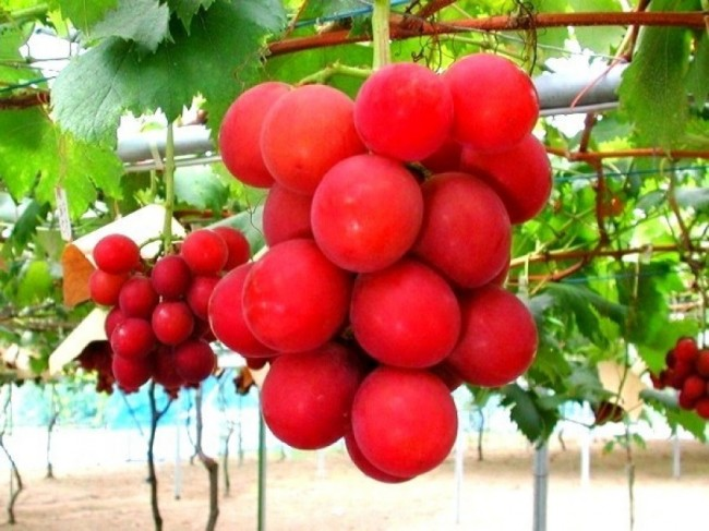 Ruby Roman Grapes — 00 per bunch