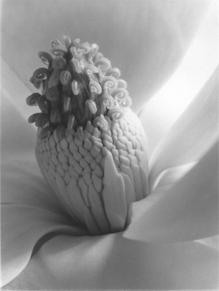 Imogen_Cunningham_Magnolia_Blossom_Tower_of_Jewels_Platinum_resized