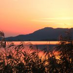 "Silver evening that does not lose to Japanese pampas grass – Lake Biwa largest inner lake ""Nishinoko"" of reed flowers in full bloom"