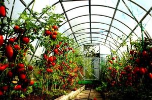 Tomat växthus