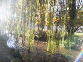 Salice bagnato dal fiume