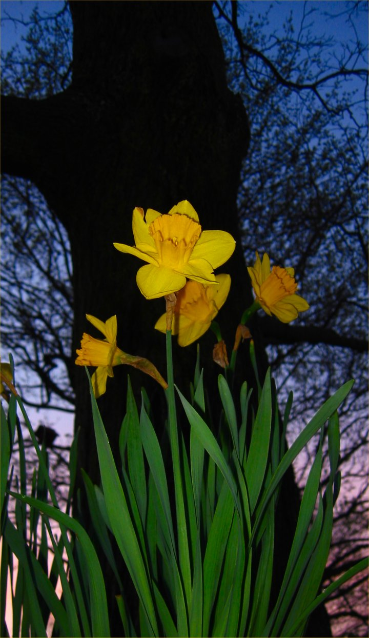 Daffodils_in_WI_May_1_2009_2__soul-amp.JPG