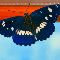 "<span itemprop=""name"">Blue butterfly – insect</span>"