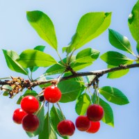 Branch of cherries