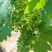 "<span itemprop=""name"">Grapes are not yet ripe</span>"