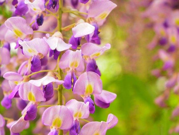 Wisteria sinensis – Plava kisha