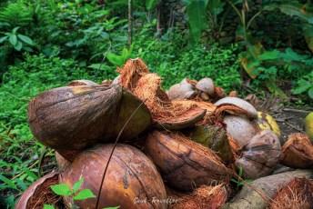 coconuts in the jungle