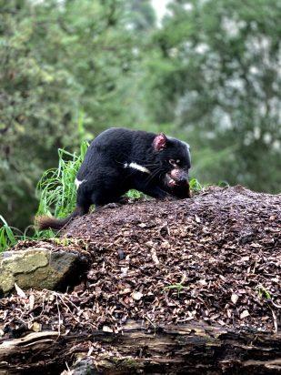 A male Tasmanian devil at the Unzoo
