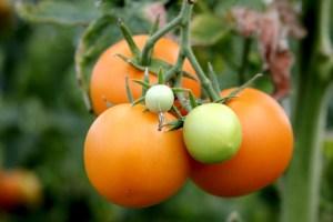 Tomater från Kvarnå Trädgård