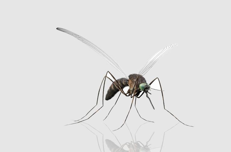 Coronavirus Can Be Transmitted Through Mosquitoes