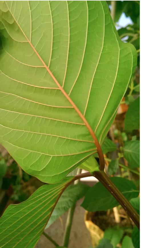 Buy live kratom plants