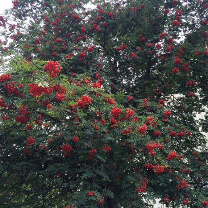 Stunning tree with red berries in West London - taken by Sue Ellam, London, UK