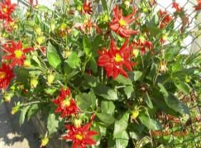 Beautiful red flowers in West London taken by Sue Ellam, London, UK
