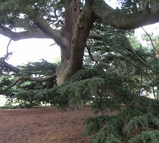 Magnificent tree in Kew Gardens taken by Sue Ellam, UK