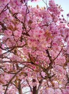 Le temps des cerisiers_souliervertblog (15)