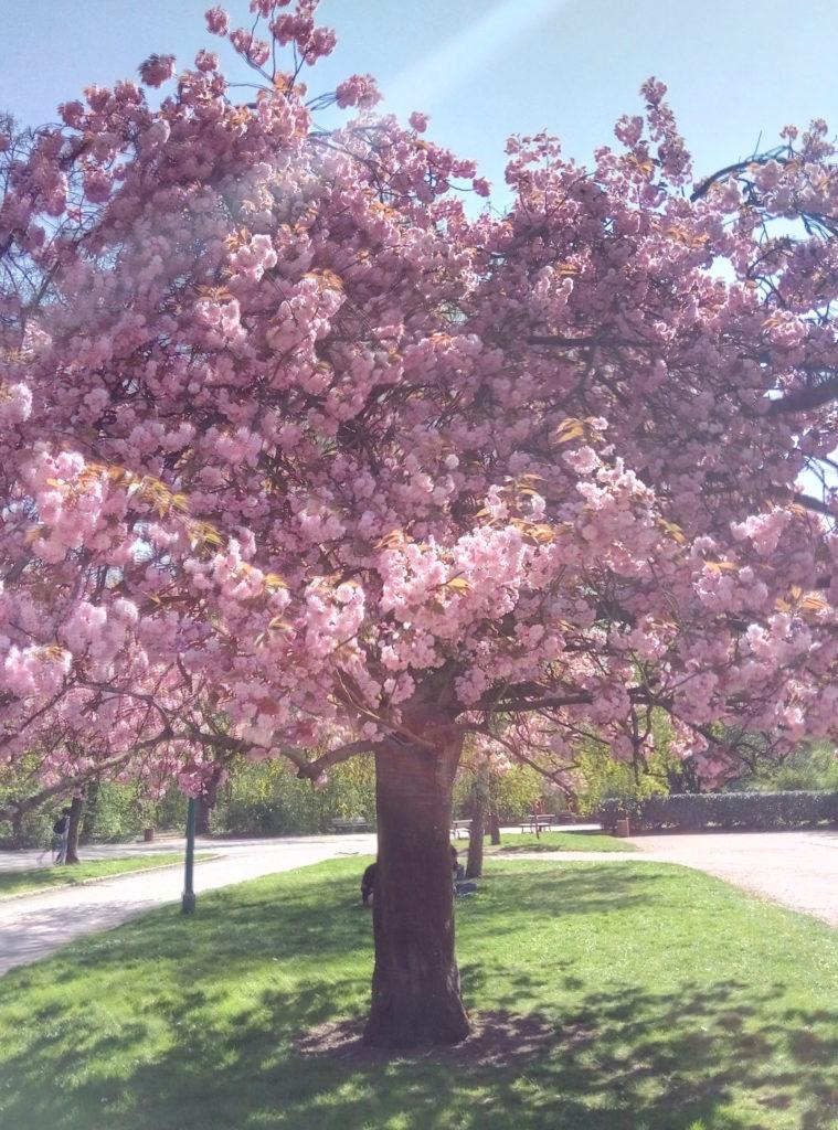 Le temps des cerisiers_souliervertblog