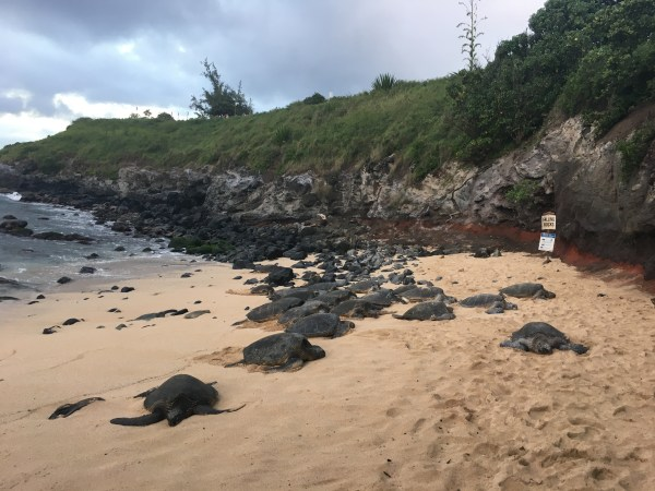 Tartarugas na praia de Hookipa