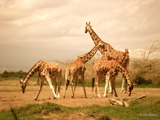 Reticulated Giraffe Family