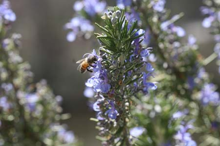 rosemary-with-bee-019-resized.jpg