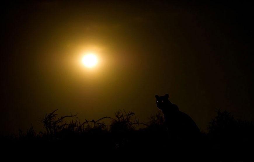 leopard nochyu