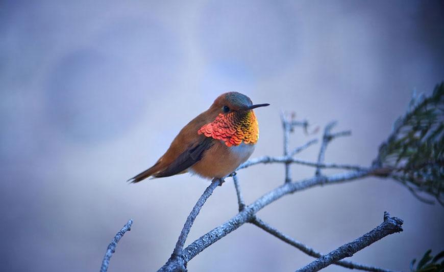 ognenniy kolibri
