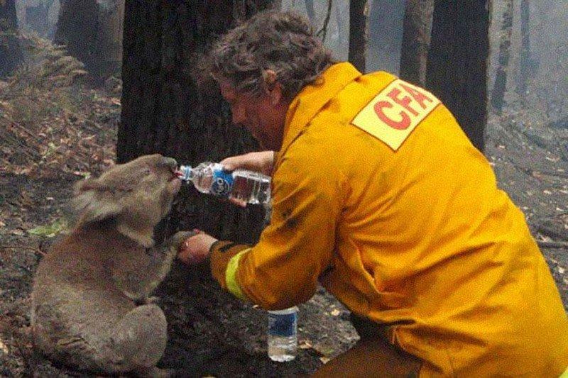 Пожарный дает воды коале после разрушительных лесных пожаров в Австралии в 2009