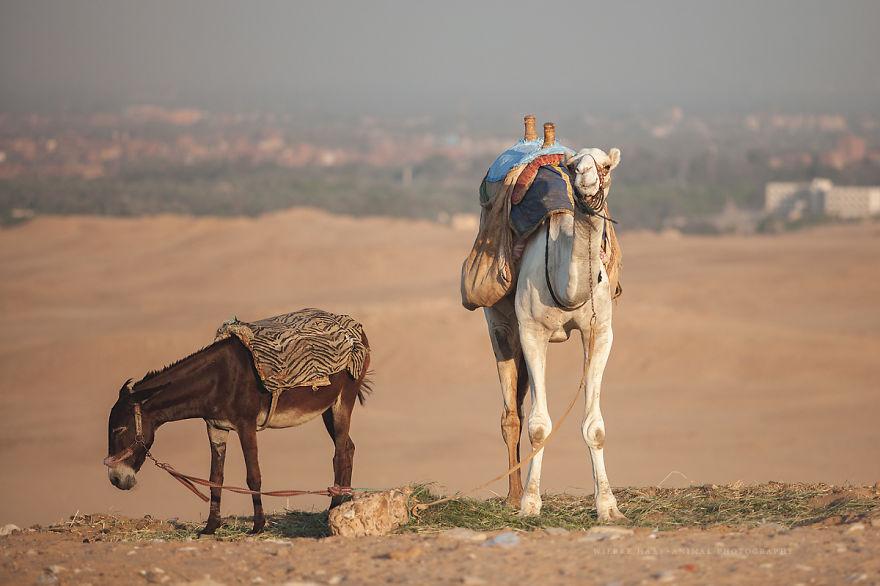 Видео секс верблюдов