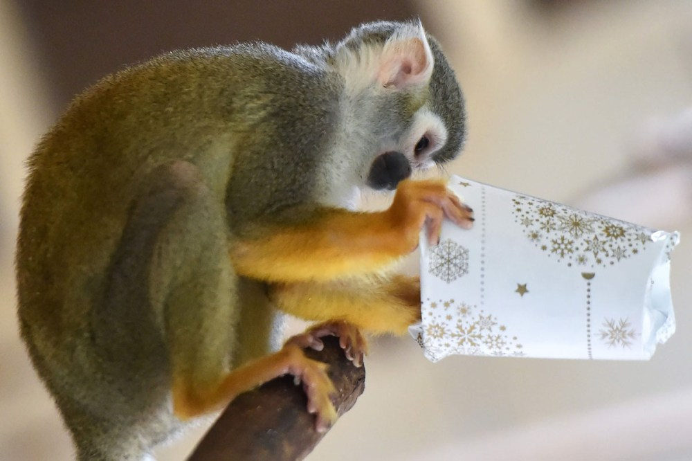 A squirrel monkey tries to open a wrapped package filled with food as a Christmas gift at the zoo of La Fleche, western France, on December 23, 2016.  / AFP PHOTO / JEAN-FRANCOIS MONIERJEAN-FRANCOIS MONIER/AFP/Getty Images ** OUTS - ELSENT, FPG, CM - OUTS * NM, PH, VA if sourced by CT, LA or MoD **