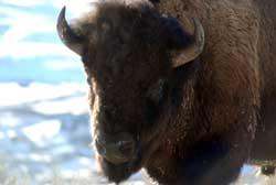bisonhaze020311cc