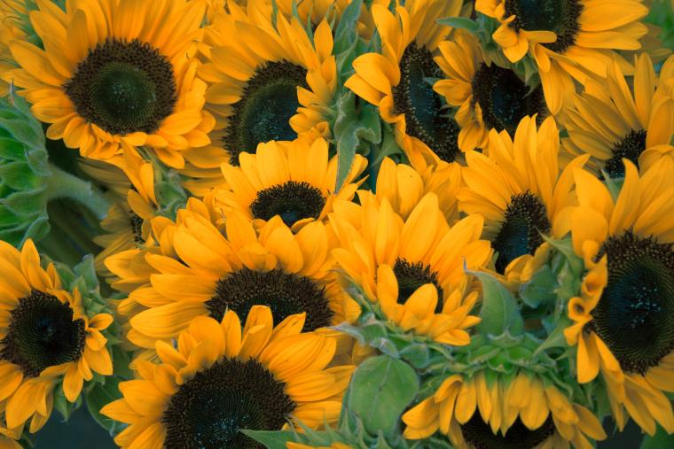 a bunch of sunflowers close up