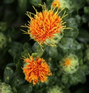 close up of safflowers