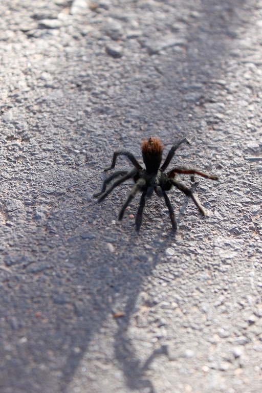 tarantel_tarantula_grand_canyon_usa_roadtrip_westcoast_soulsistermeetsfriends