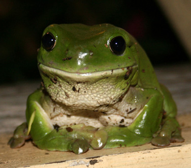 Green Tree Frog 1