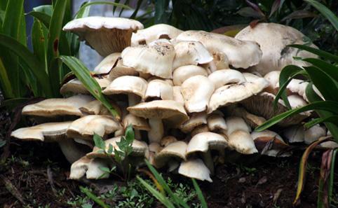 Australian White Fungi 1