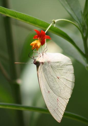 Lemon Migrant Btterfly