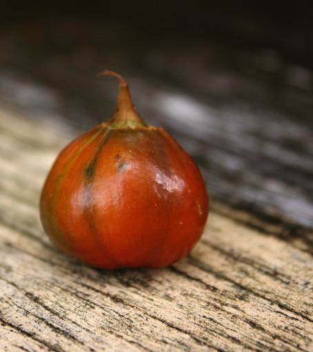 Brisbane Lily Seed