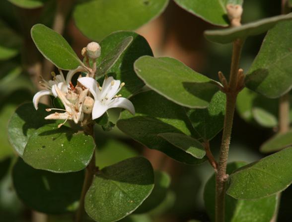 Correa alba 2 - White correa - Native fuschia