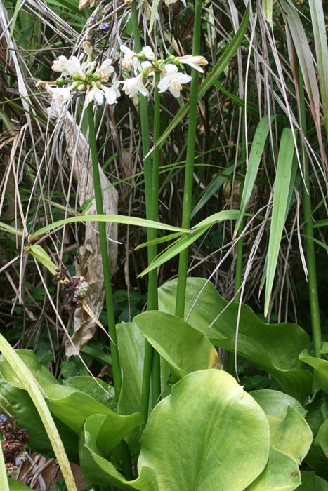 brisbane-lily-1