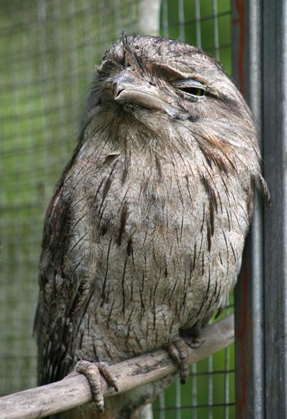 2-tawny-frogmouth-web