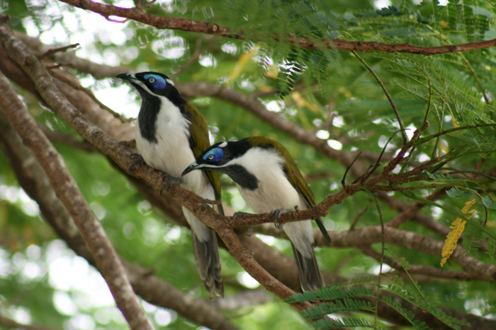 blue-faced-honeyeates