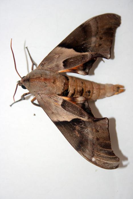 coequosa-australasiae-1