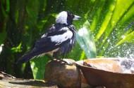 Magpie shower 16