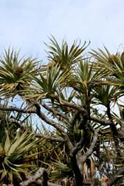 Seaside Wildflowers - BALLINA PANDANUS 12