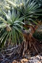 Seaside Wildflowers - BALLINA PANDANUS 5