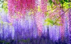 wisteria-02