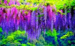 wisteria-flowers